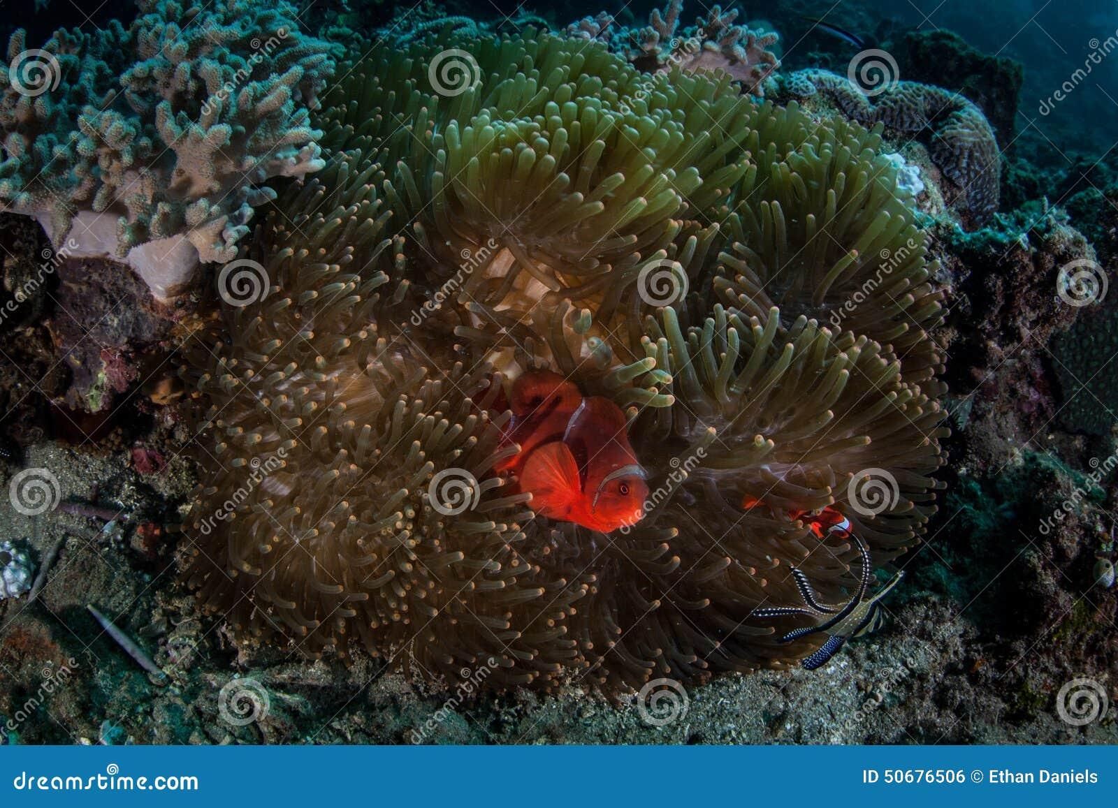 Download 脊椎面颊Anemonefish 库存照片. 图片 包括有 冒险家, 传记, 敌意, 泄密者, 气候, d0 - 50676506