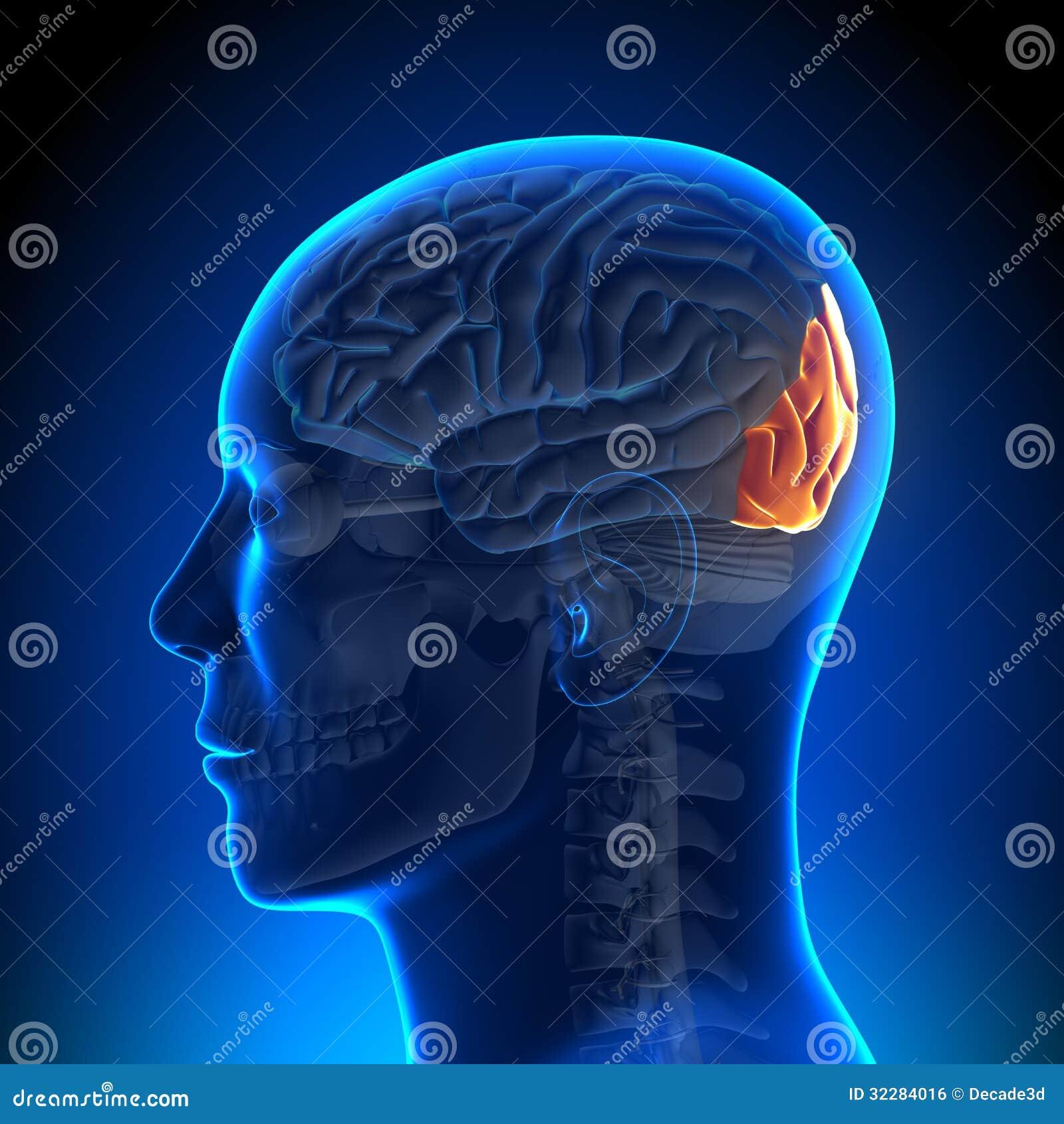 脑子解剖学-枕叶 免版税库存图片 - 图片: 32284016