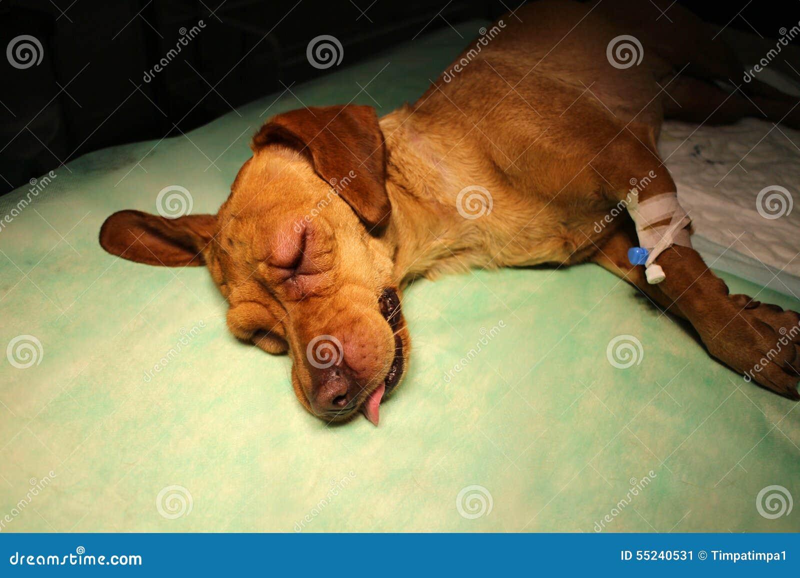 膨胀眼皮和注射器在肢体由vizsla狗