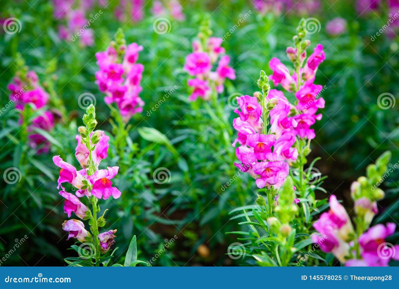 自然花桃红色和白色在庭院,软的焦点里
