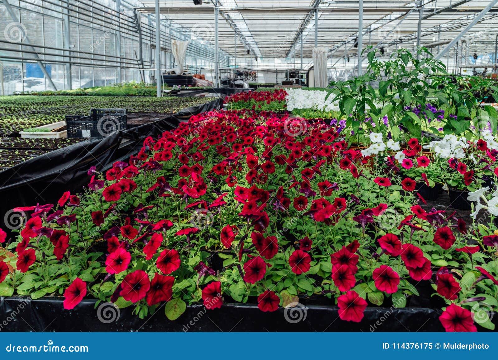 自现代温室增长的开花的红色喇叭花