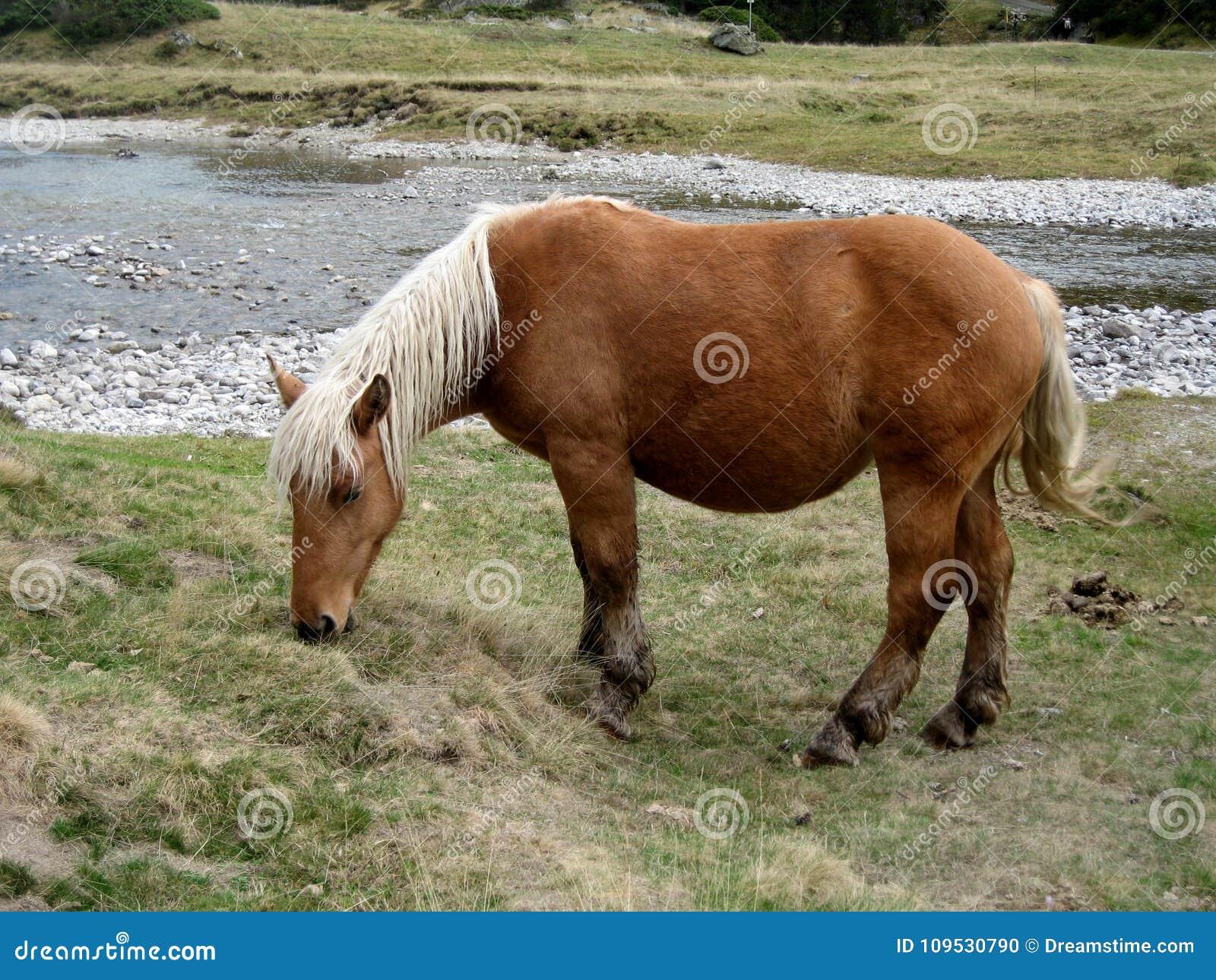 自由马在高山牧场地有cauterets高比利牛斯