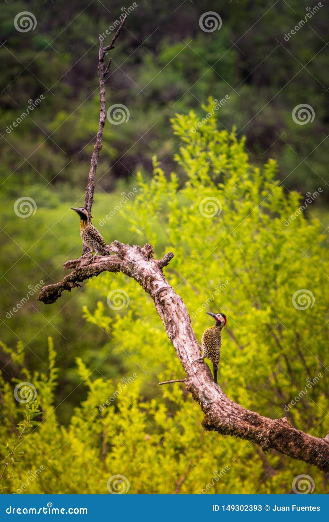 自由鸟在他们的自然生态环境