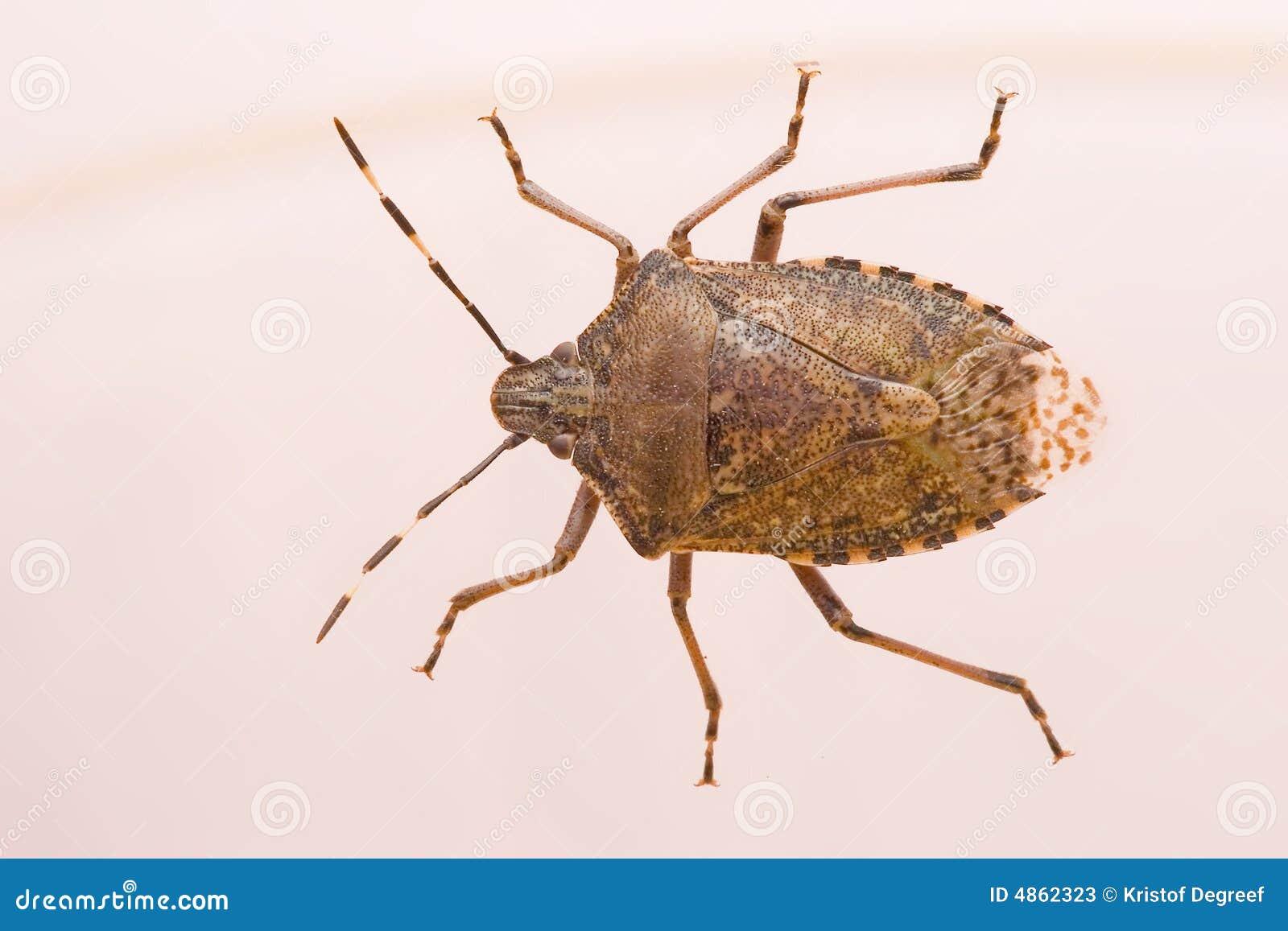 bedbugs images