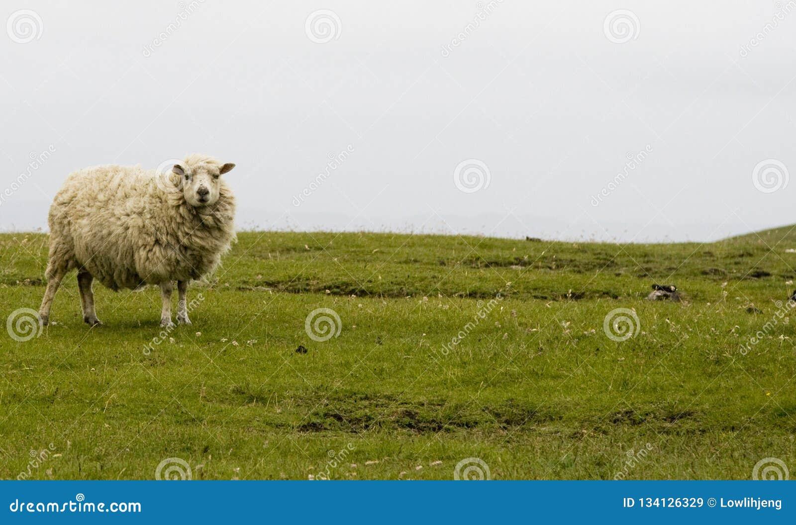 舍德兰群岛绵羊