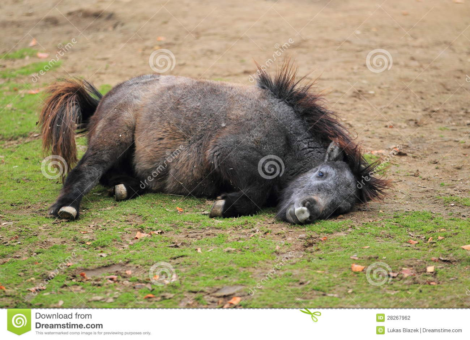 舍特兰群岛小马