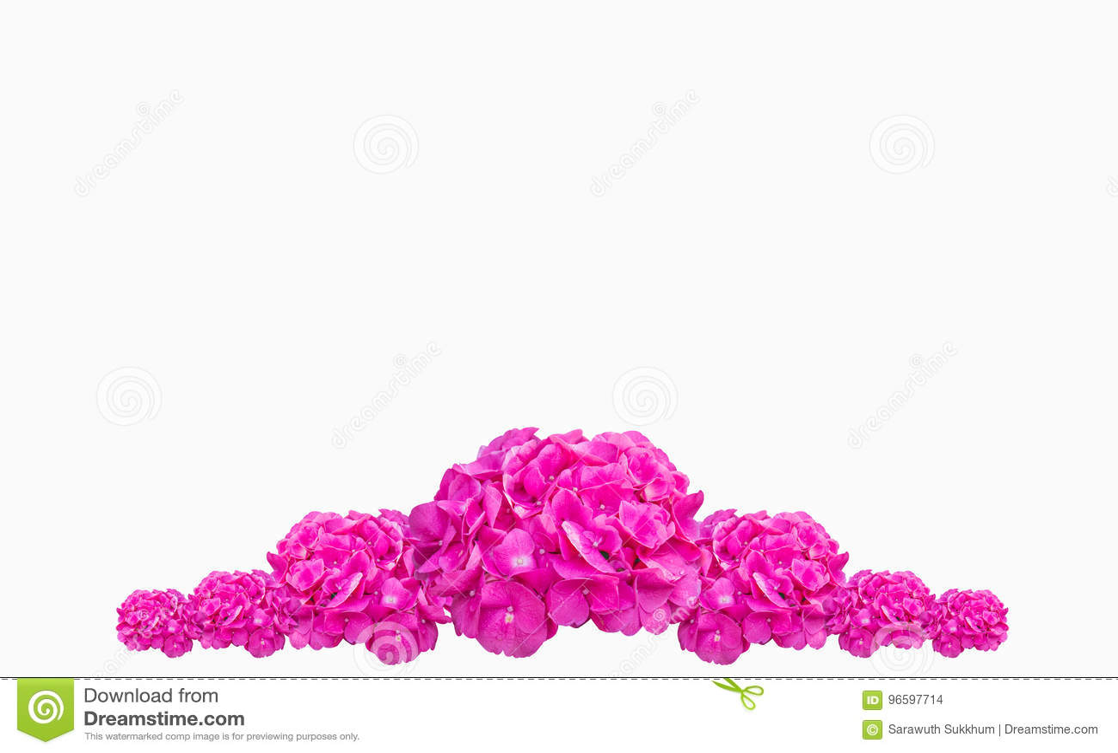 紫色八仙花属花八仙花属macrophylla,在白色背景隔绝的桃红色花