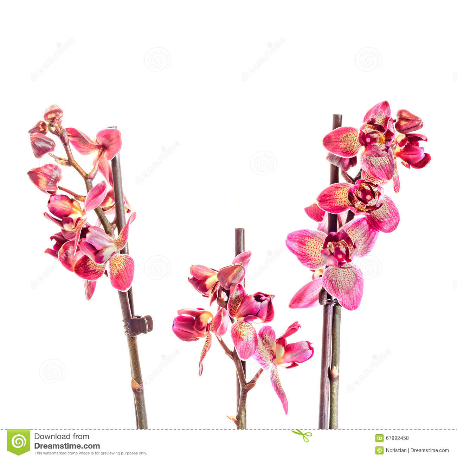 紫色分支兰花开花,兰科,叫作蝴蝶兰的兰花植物