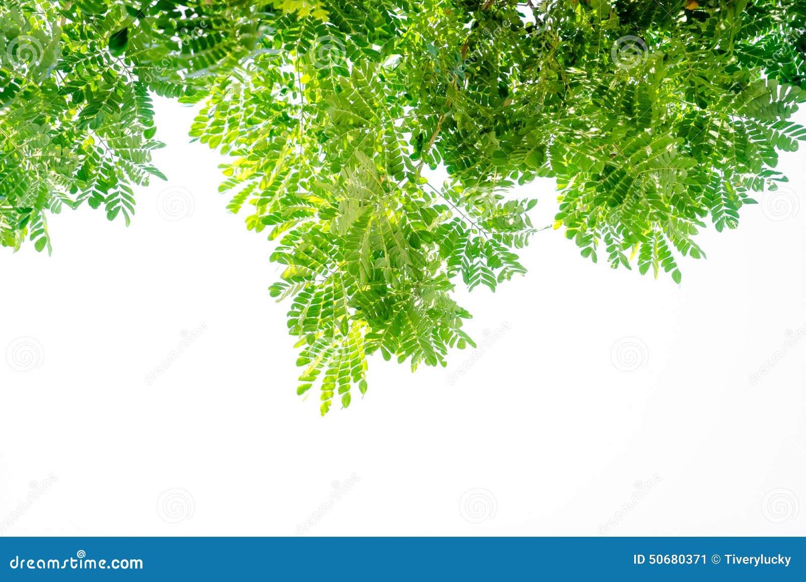 Download 绿色叶子 库存图片. 图片 包括有 详细资料, 颜色, 特写镜头, 框架, 透亮, 森林, 植物群, 室外 - 50680371