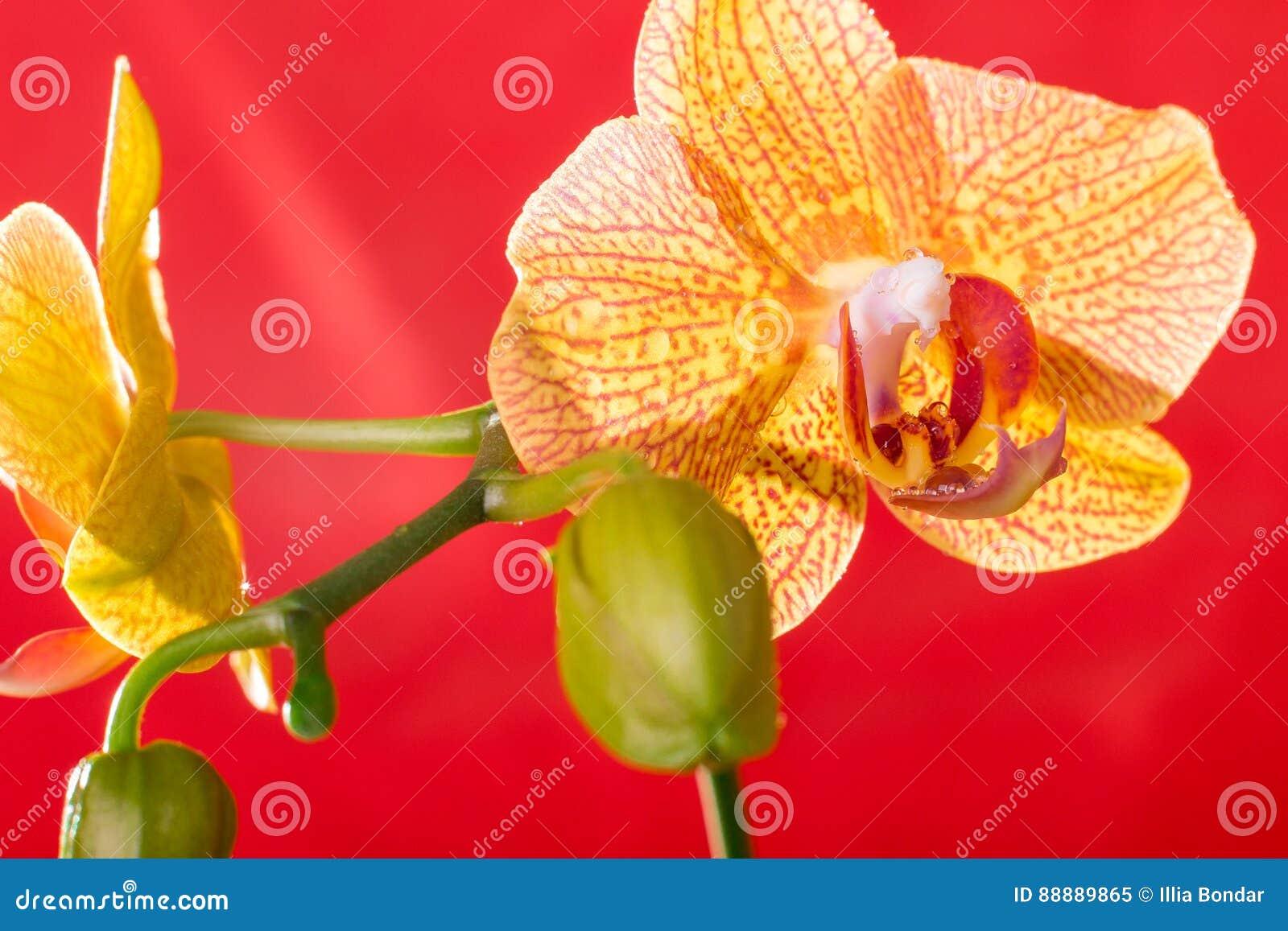 黄色和红色兰花宏指令用水下降