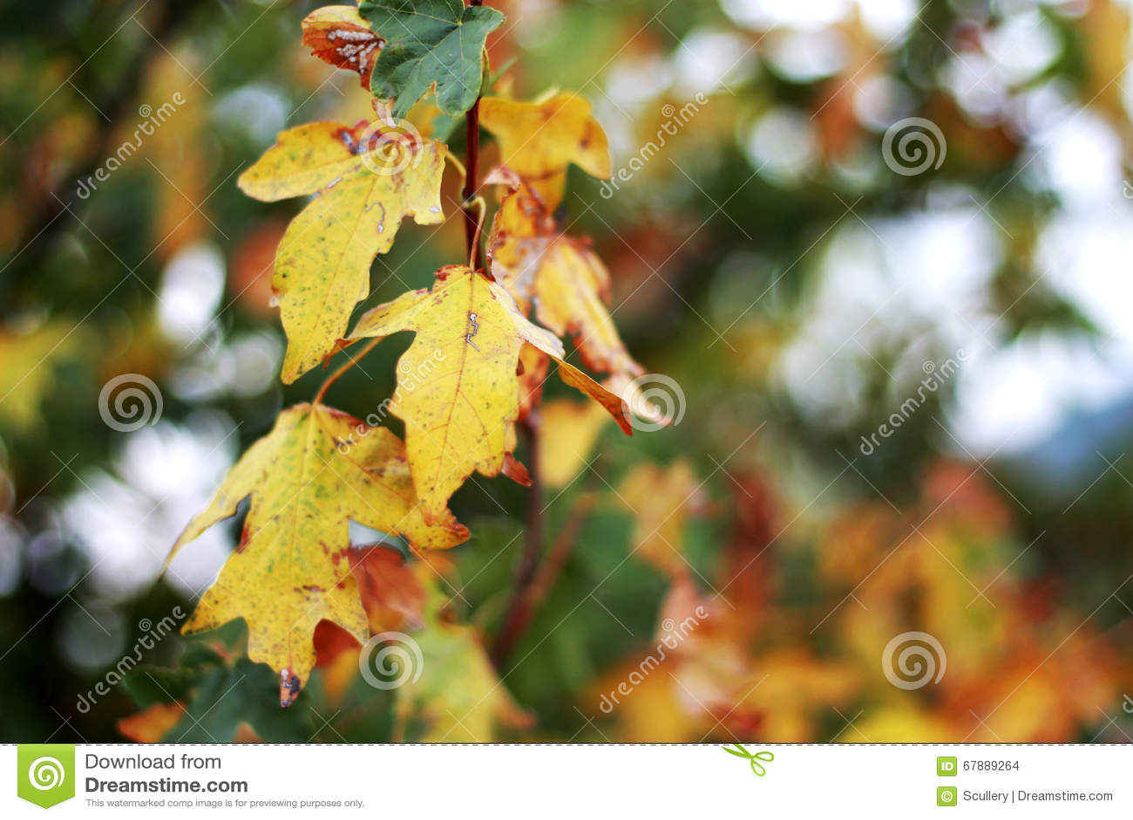 黄色和红色在分支离开在秋天森林