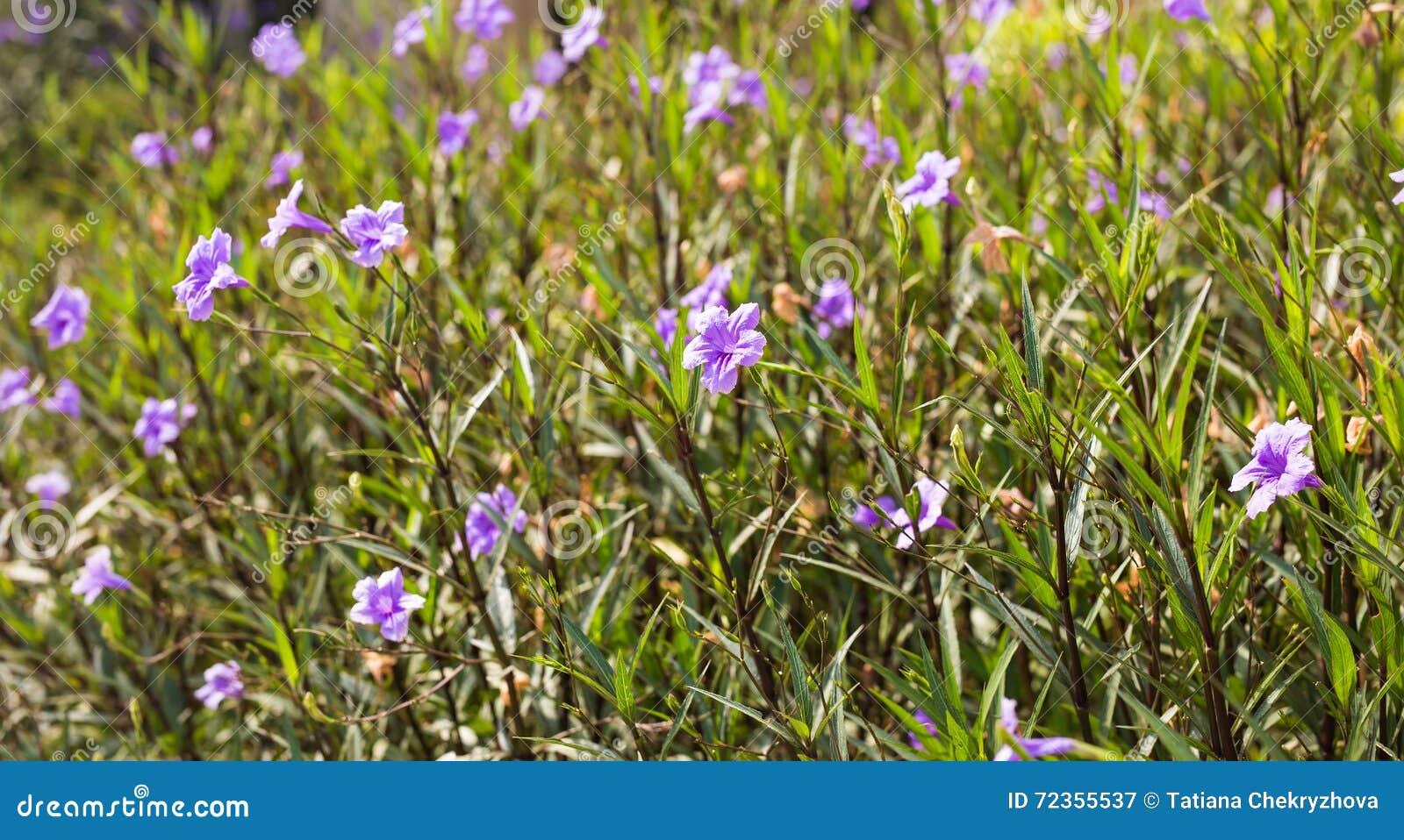 紫色喇叭花花在庭院里