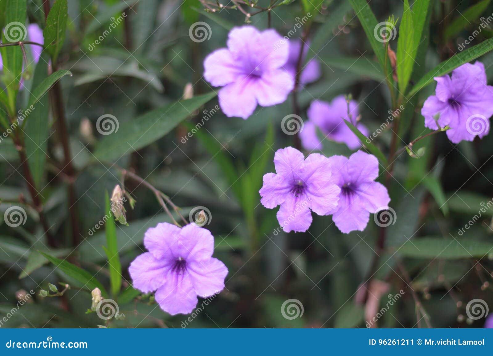紫色喇叭花