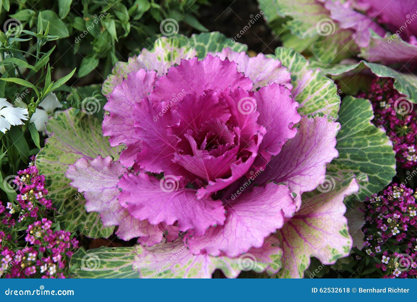 紫色圆白菜花