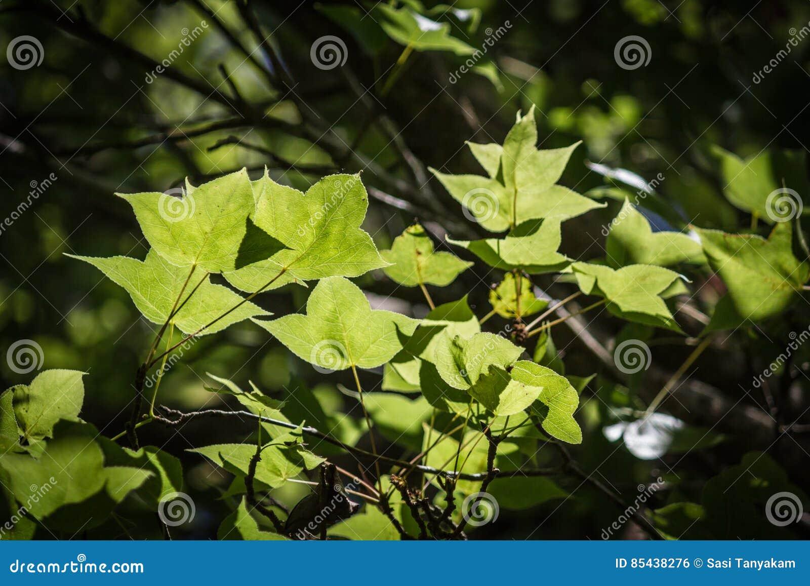 绿色在黑bokeh背景把槭树留在