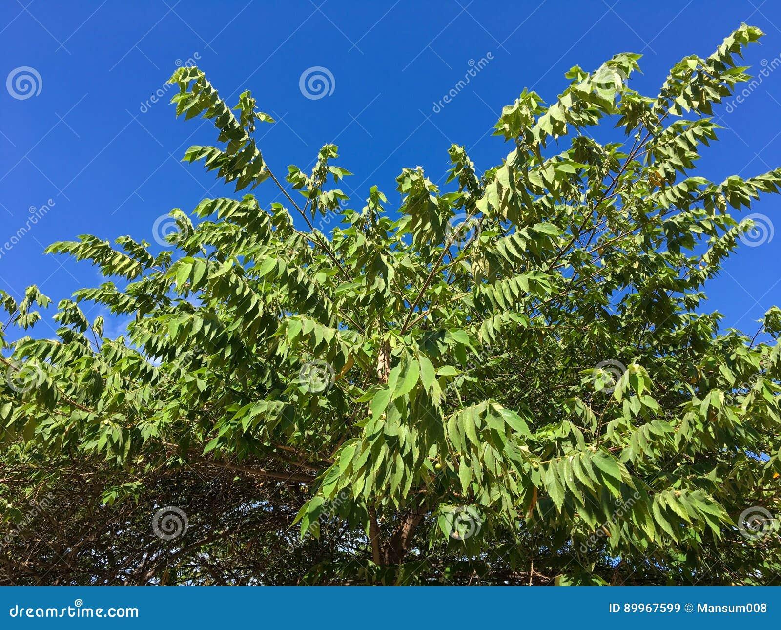 绿色大风子科rukam叶子在自然庭院里