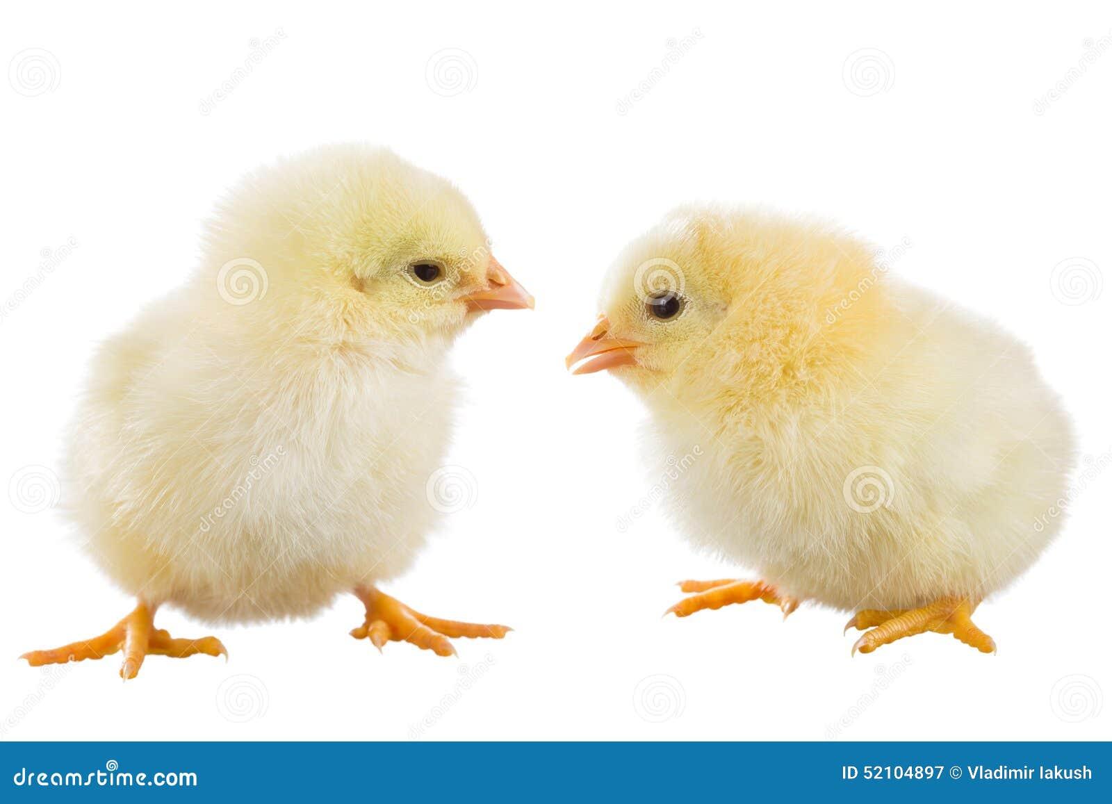 黄色录像鸡大巴_在白色背景隔绝的黄色鸡.