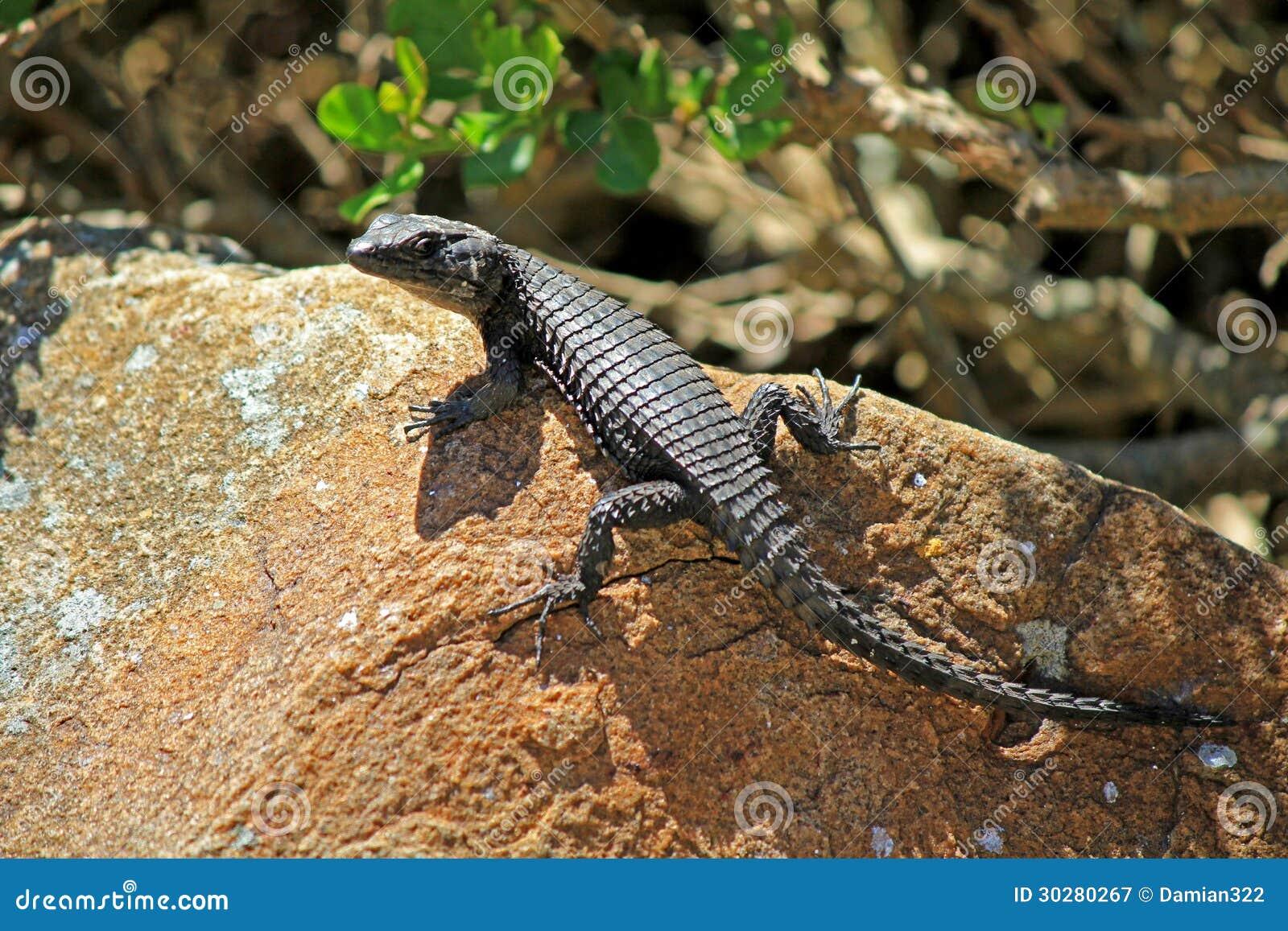 黑色带被盯梢的蜥蜴