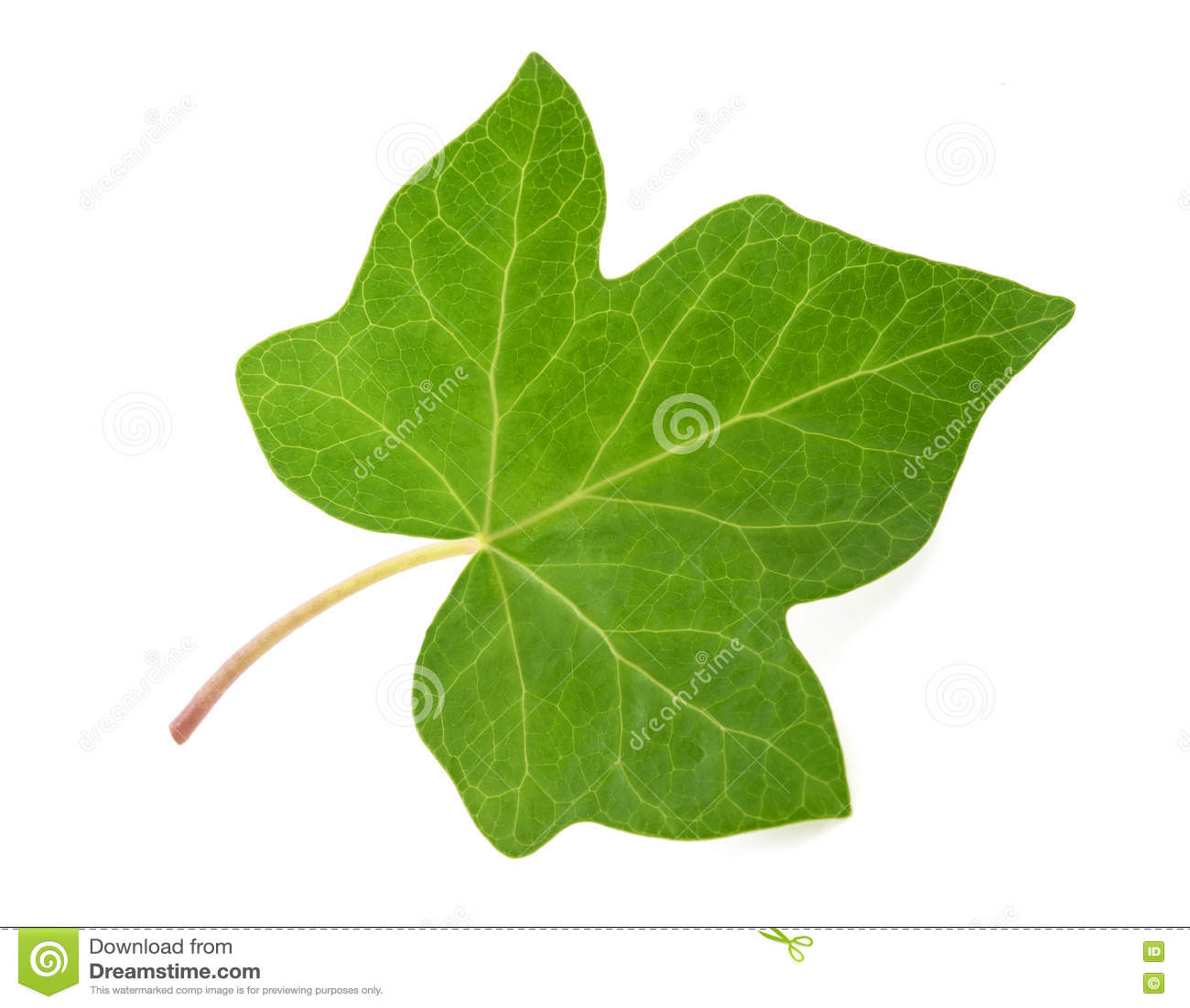 绿色常春藤叶子