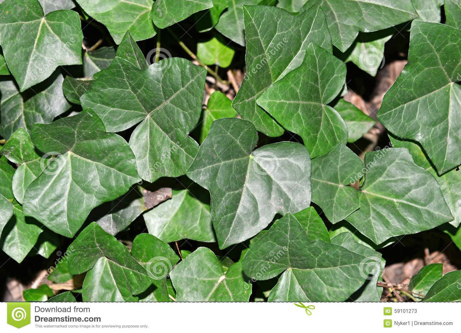 绿色常春藤留下特写镜头