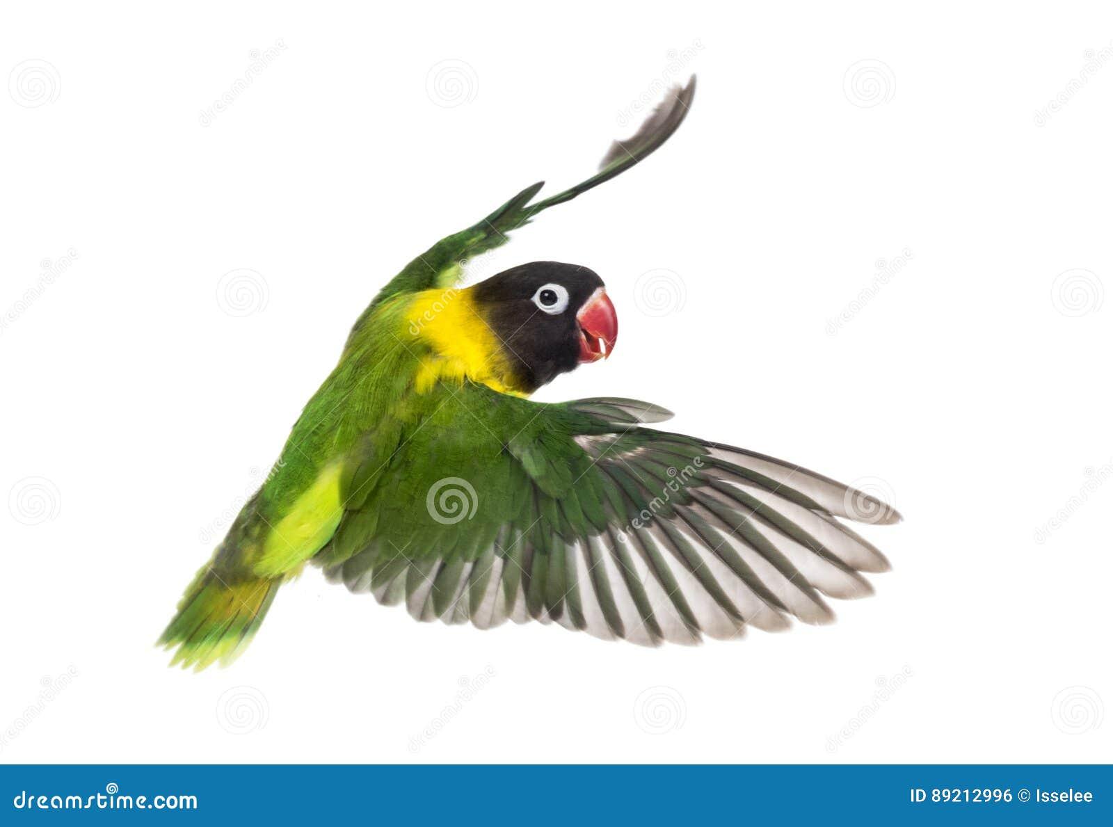 黄色抓住衣领口的爱情鸟飞行,被隔绝