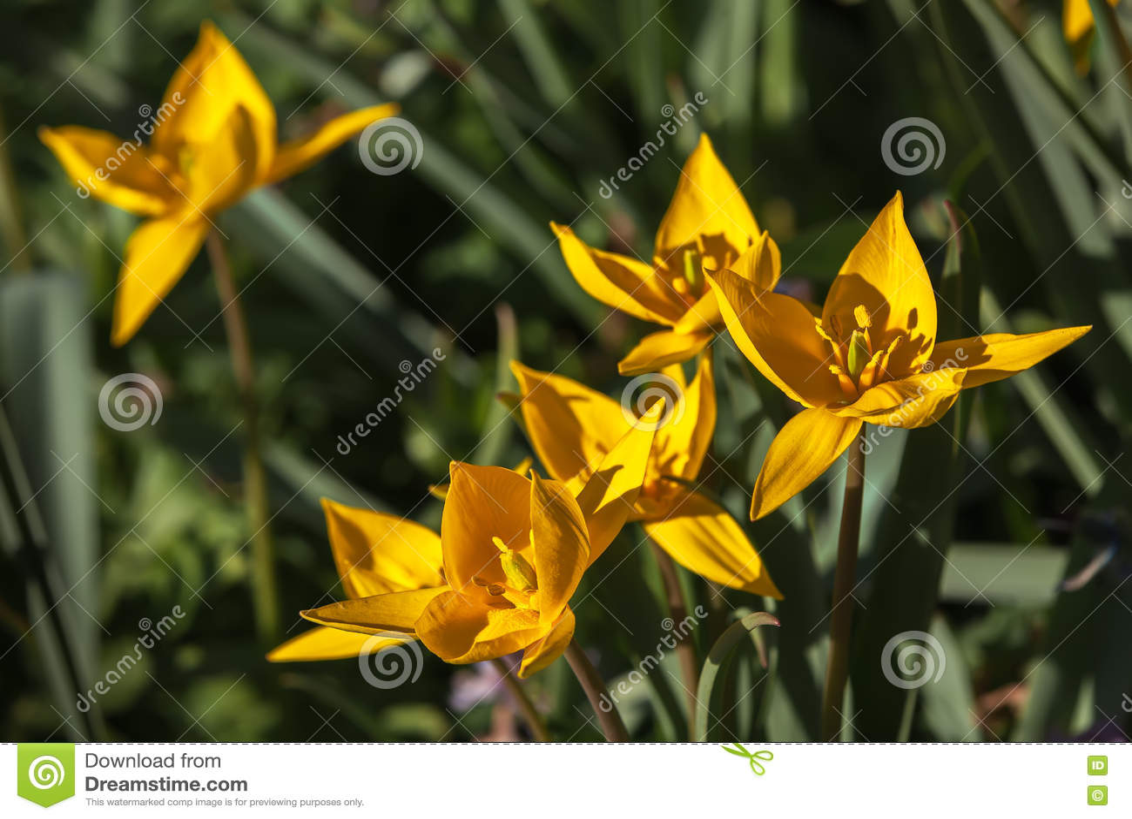 黄色春天花,郁金香背景