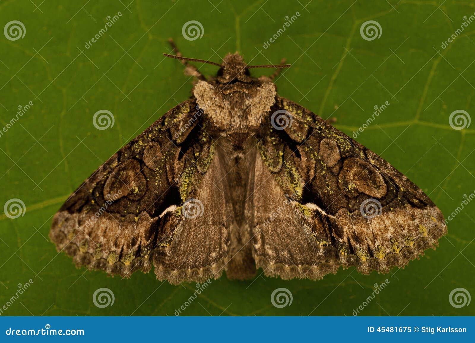 绿色有斑月牙, Allophyes oxyacanthae