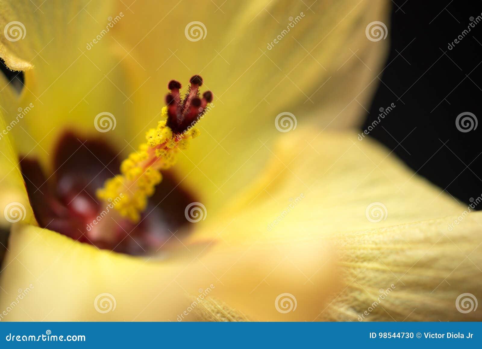 黄色木槿花宏指令