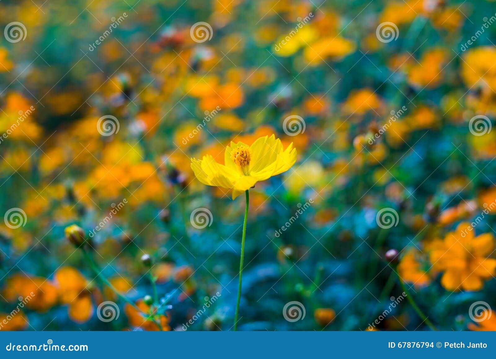 黄色波斯菊花开花