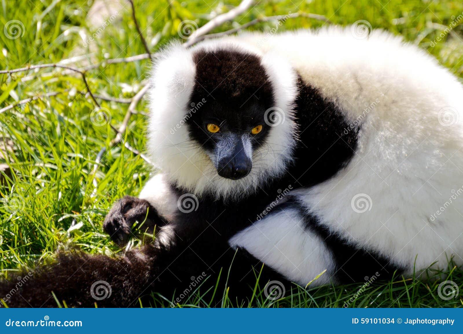 黑色狐猴ruffed白色