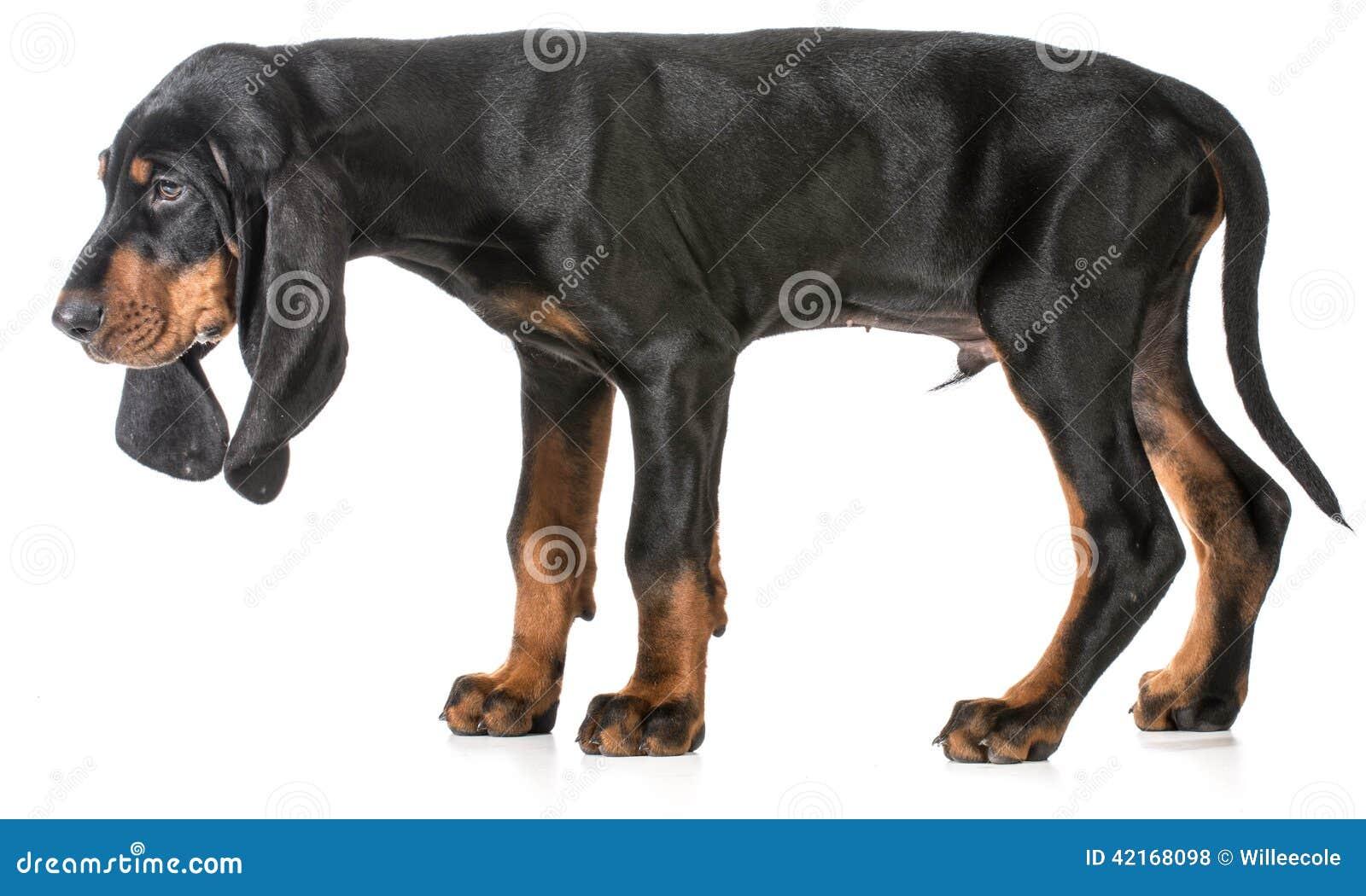 染黑并且晒黑在白色背景的猎浣熊的猎犬小狗.