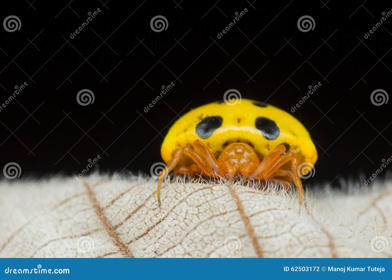 黄色瓢虫仿造物蜘蛛- Paraplectana sp