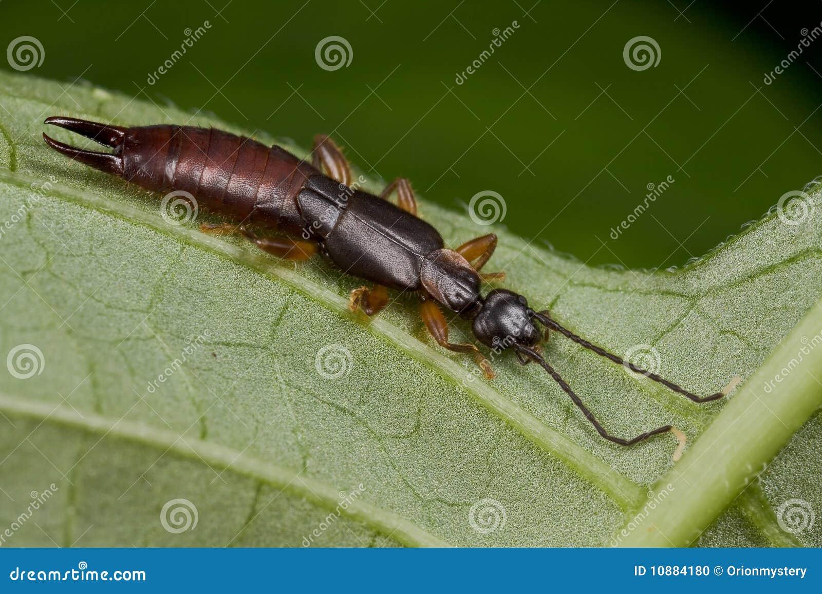 色的黑暗的蜈蚣