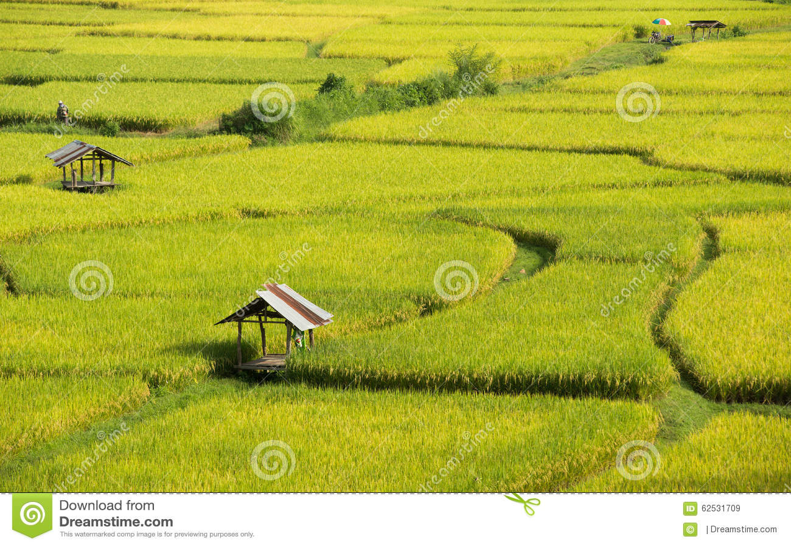 绿色的稻黄色和,红色