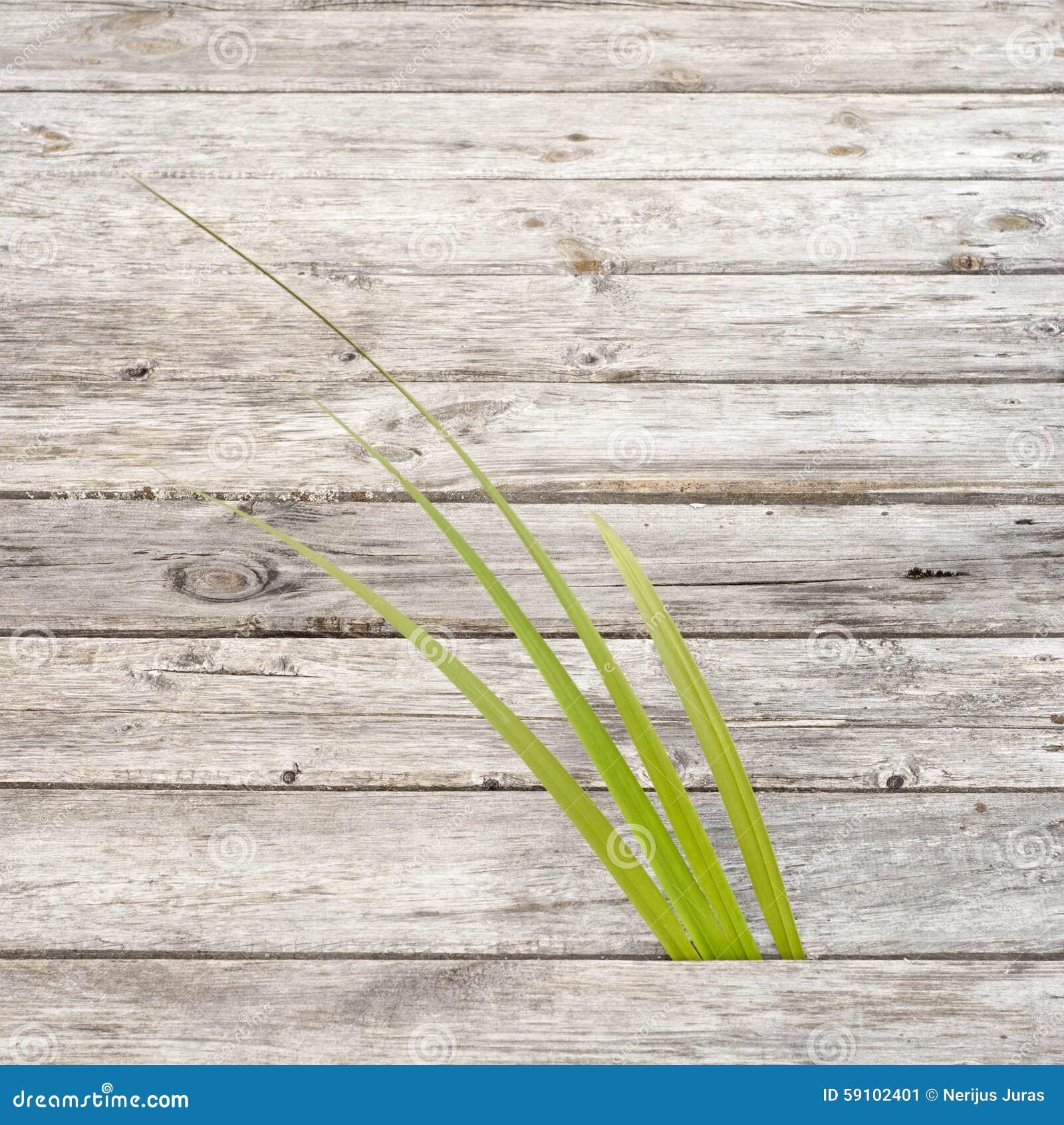 绿色芦苇生长在木路之间的空白