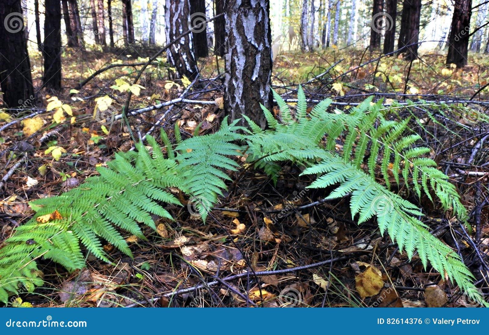 绿色蕨在秋天森林里