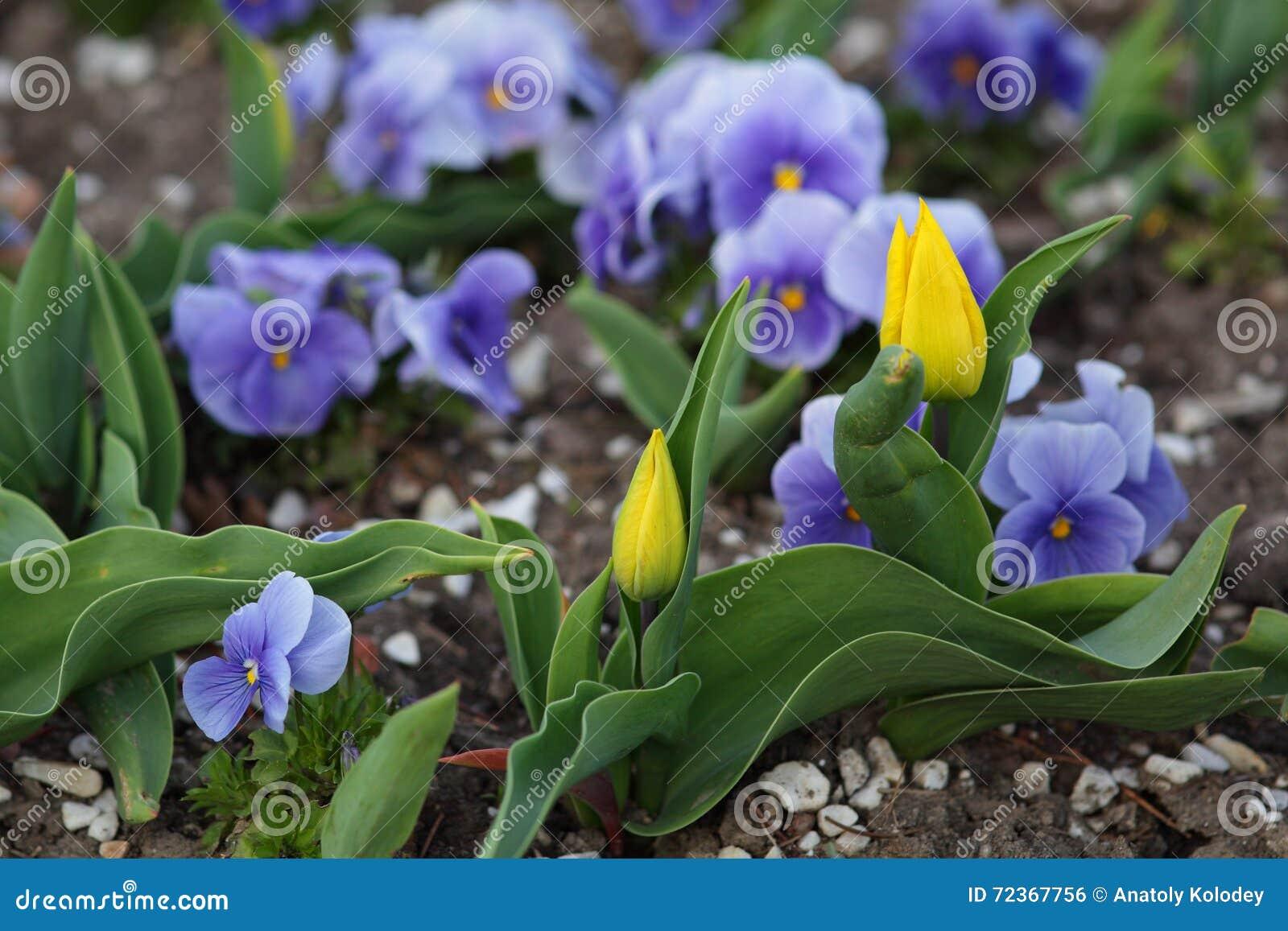 黄色郁金香在花圃里