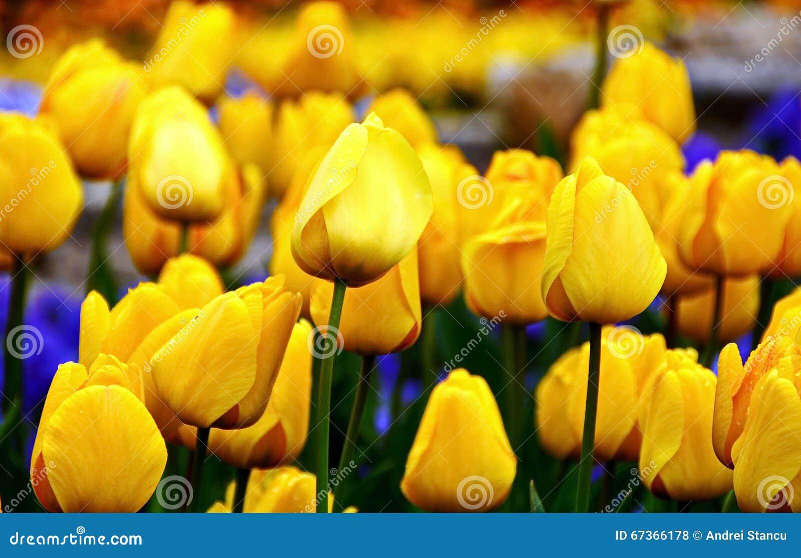 黄色郁金香