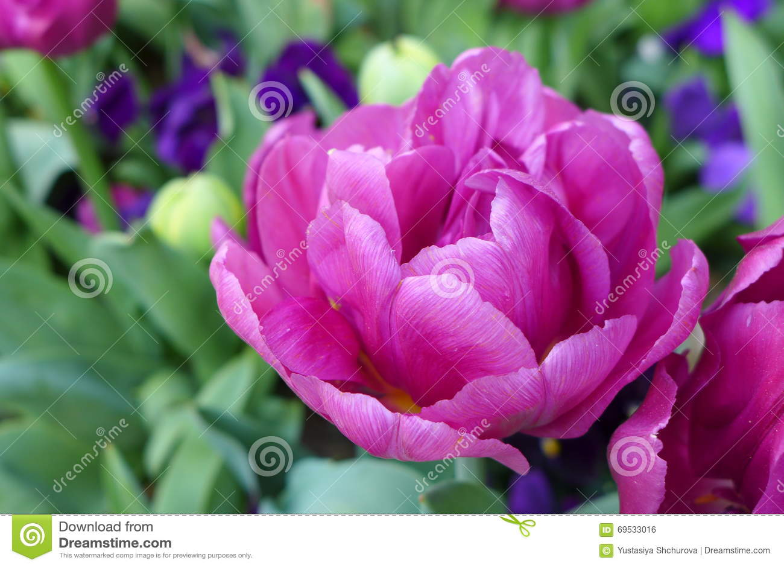 紫色郁金香价格_库存照片: 紫色郁金香