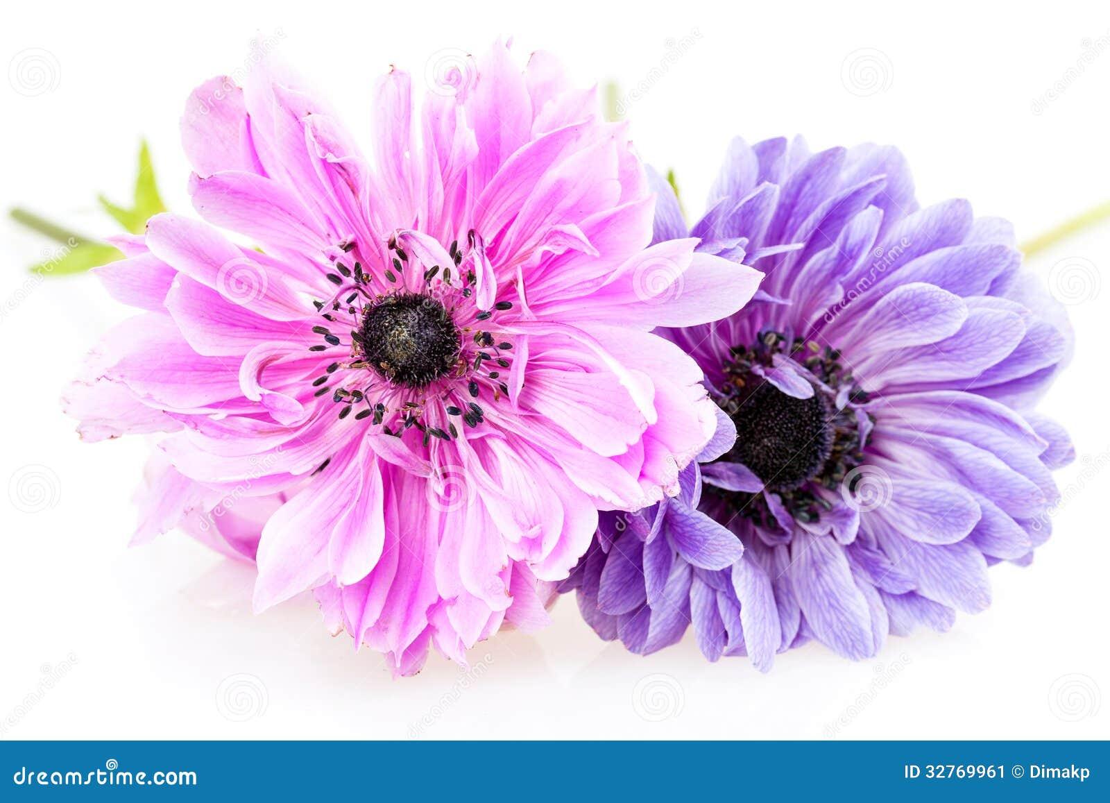 紫色银莲花属