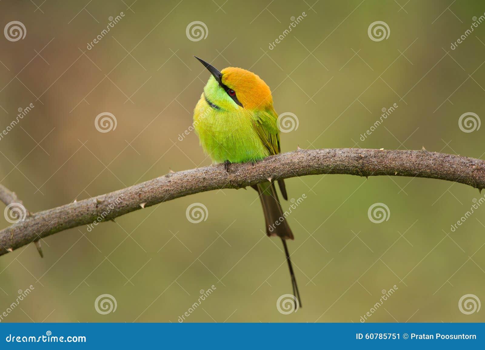 绿色食蜂鸟