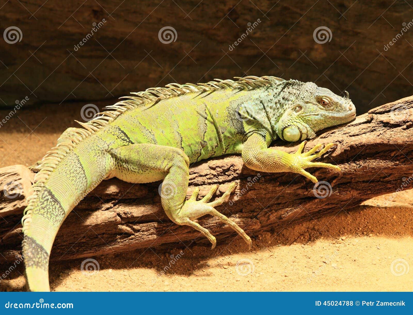 绿色鬣鳞蜥