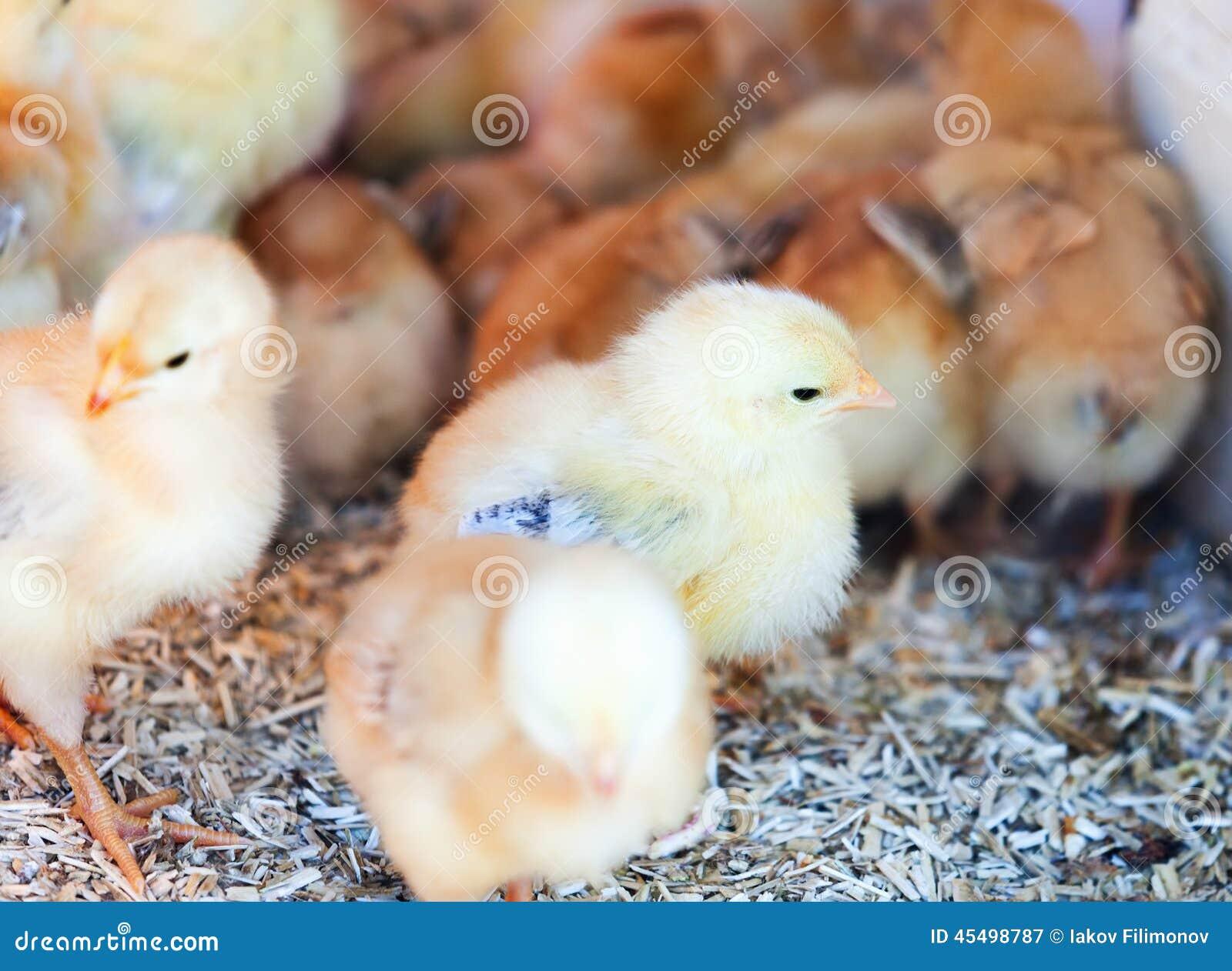 黄色鸡在农场