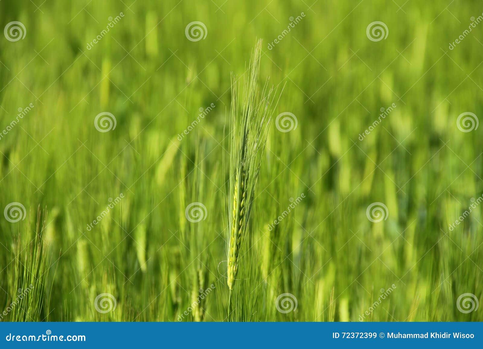 绿色麦子年轻人