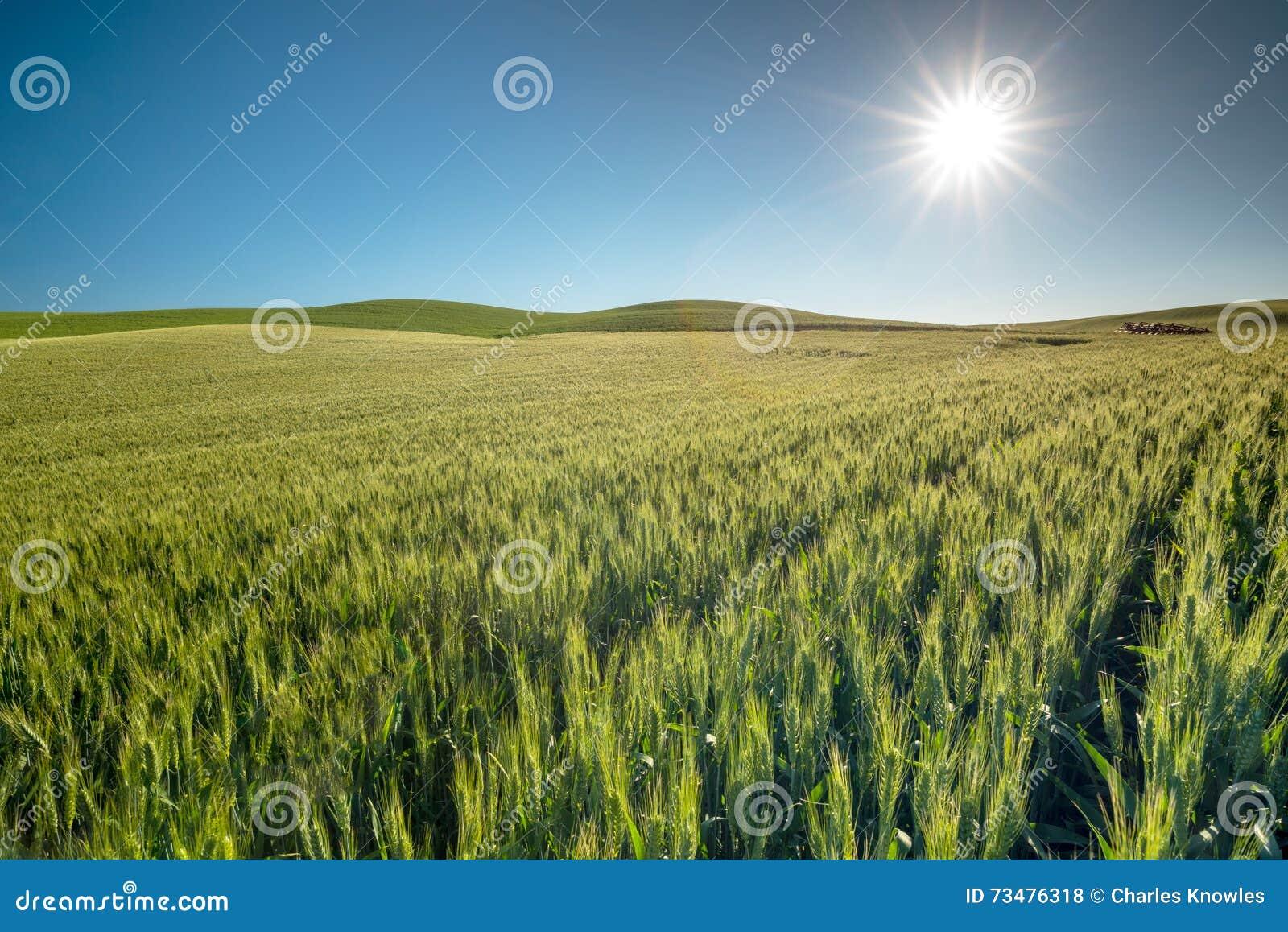 绿色麦田和蓝天与太阳担任主角