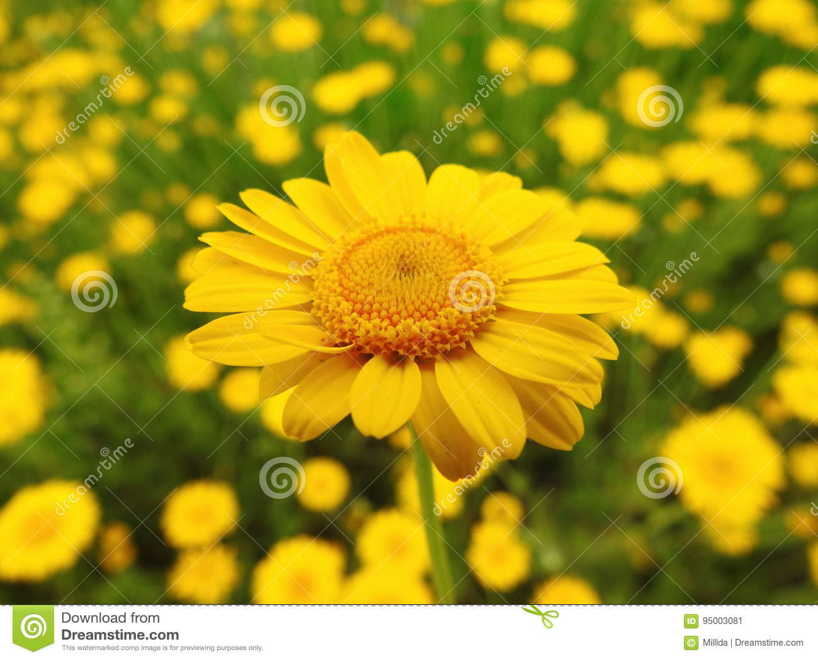 黄色延命菊花