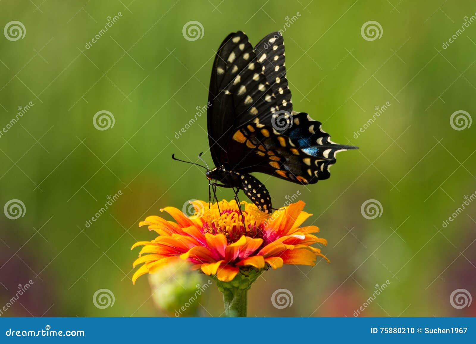 黑色蝴蝶swallowtail