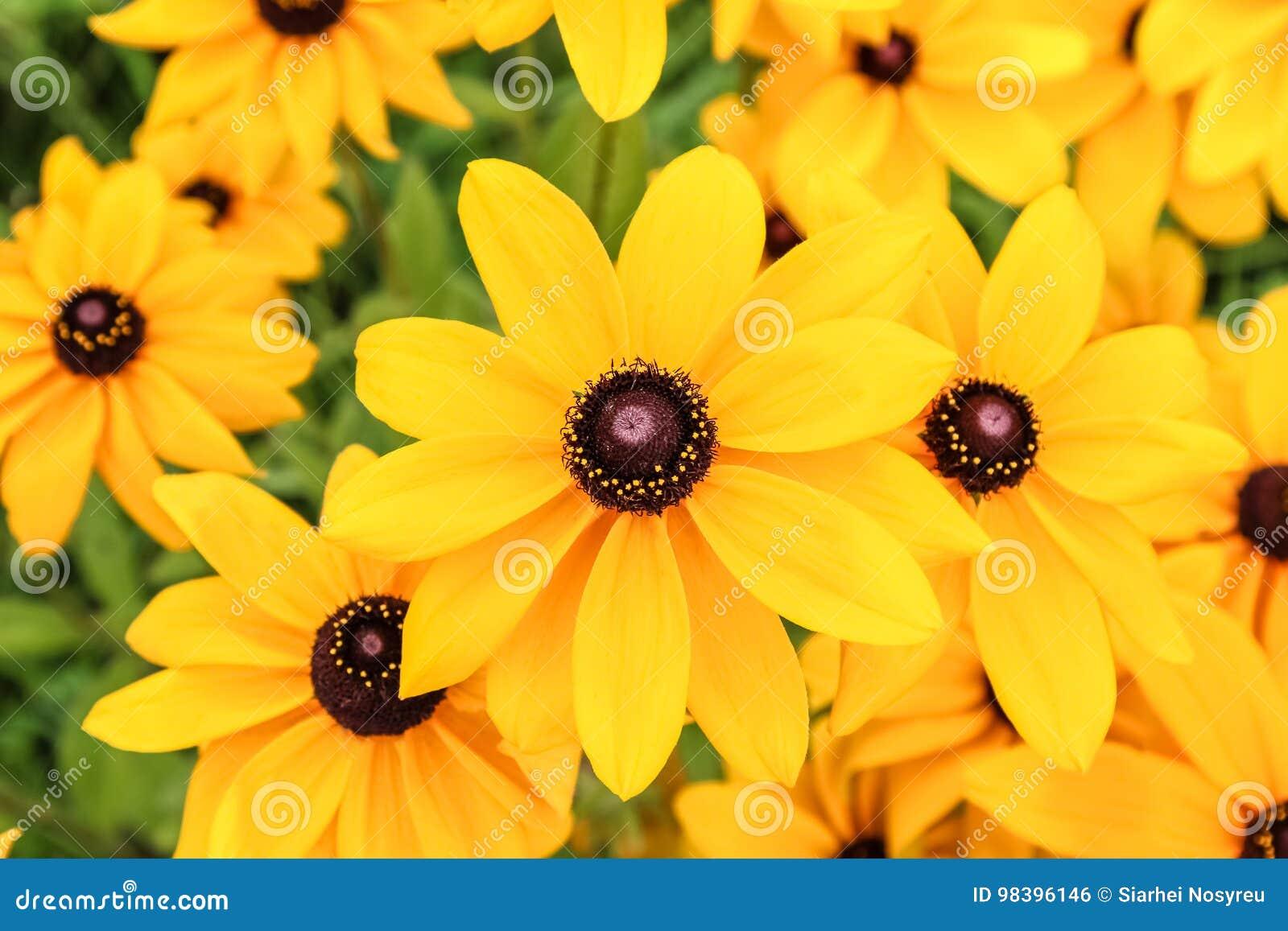 黄色黄金菊花锥体花,照片的关闭