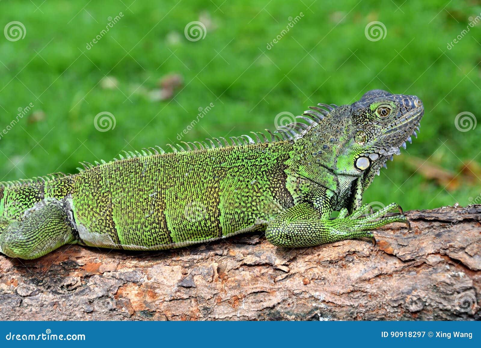 绿色IguanaIguana鬣鳞蜥