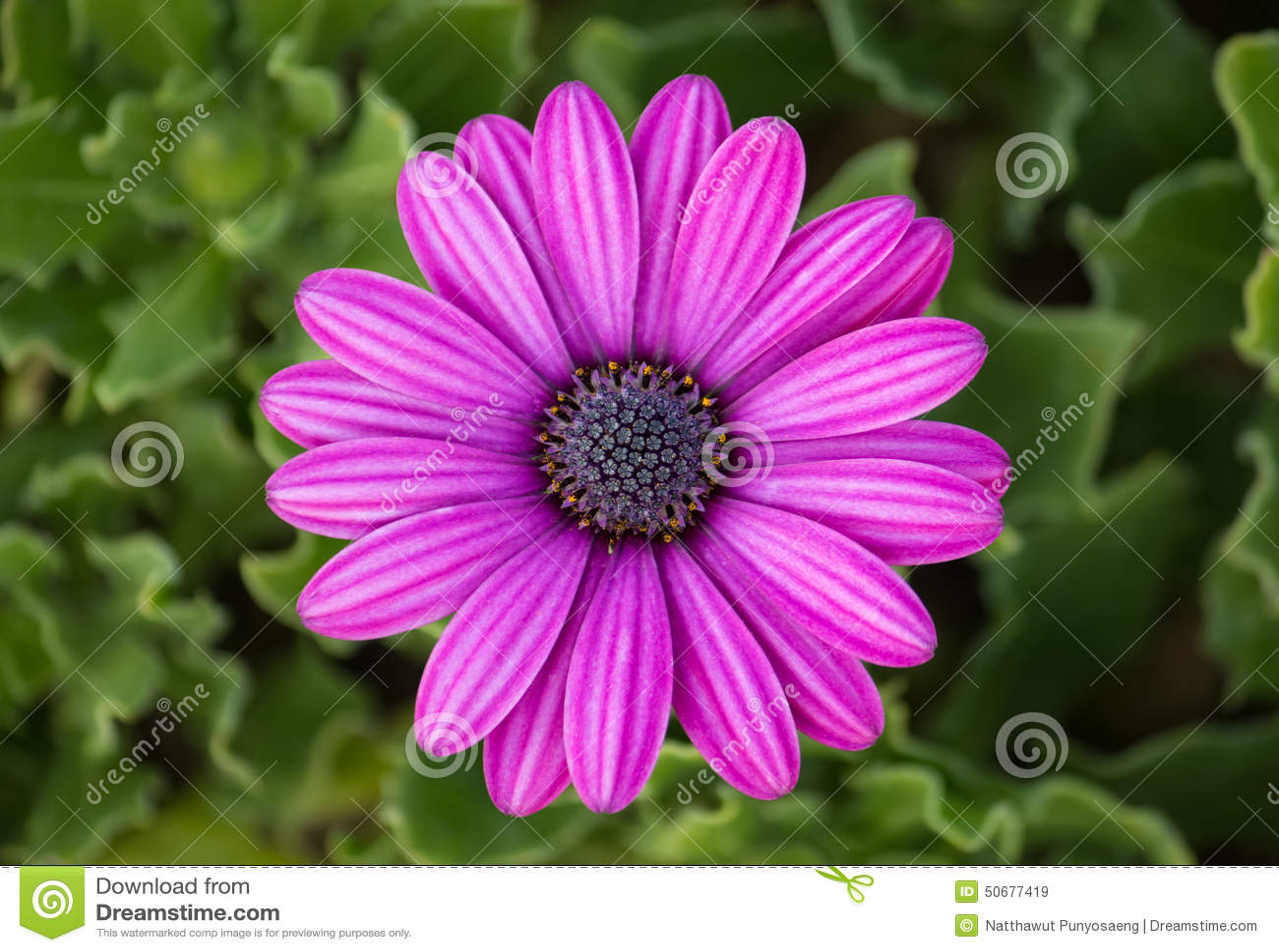 Download 紫色osteospermum雏菊花 库存图片. 图片 包括有 模式, 背包, 新鲜, 蓝色, 菊花, 详细资料 - 50677419